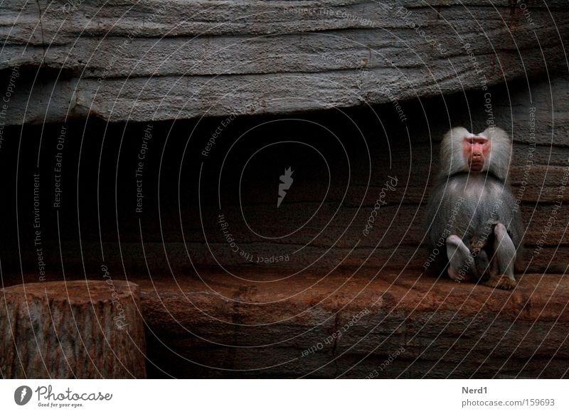 Allein Affen Einsamkeit grau Zoo Pavian Stein Kulisse Blick Fell Säugetier Traurigkeit gefangen einzeln 1 sitzen Gehege Textfreiraum links Langeweile
