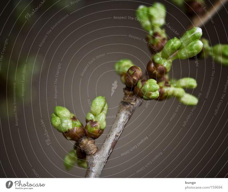 aestas adventa Blüte Frühling Wärme Wachstum Ast Blühend Erwartung Blütenknospen Kirsche Vorfreude Blattknospe Entwicklung Photosynthese austreiben
