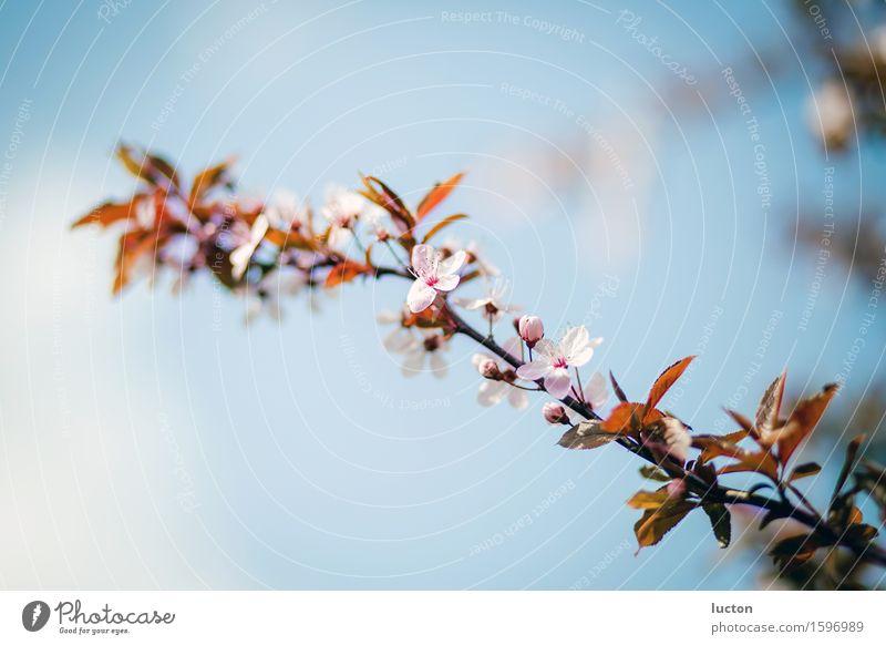 Aufbruch Umwelt Natur Landschaft Pflanze Himmel Frühling Schönes Wetter Baum Blatt Blüte Zweig Kirschblüten Garten Park Wald Holz ästhetisch Duft frisch hell
