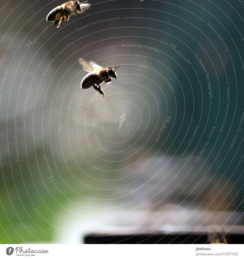 Überholmanöver schön Sommer Tier außergewöhnlich Freiheit Lebensmittel fliegen Ernährung authentisch ästhetisch einzigartig sportlich Biene Haustier Plattenbau