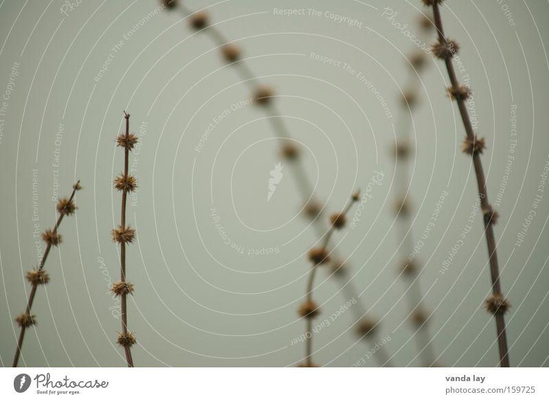 Puschel am Spieß Gras Herbst Hintergrundbild Natur Umwelt Stengel Sträucher grau ruhig Winter November Januar Makroaufnahme Nahaufnahme Detailaufnahme
