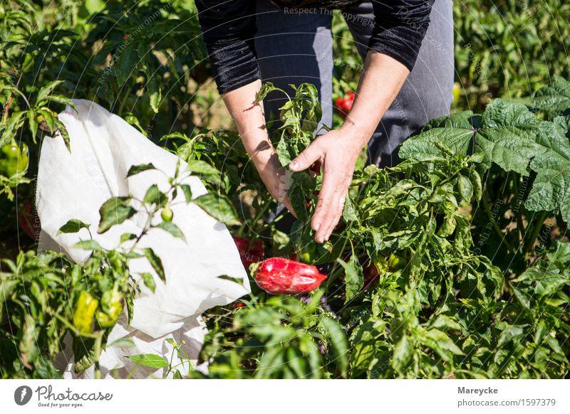 Peperoni- Paprikaernte feminin Hand 1 Mensch Natur Sonne Schönes Wetter Feld Billig natürlich rot Farbfoto Außenaufnahme Tag