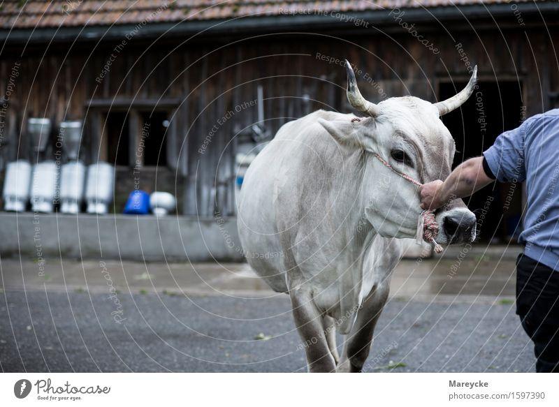 Viehschau Tradition Kuh Landwirt Milch Rind Stall Milchkanne Kuhglocke