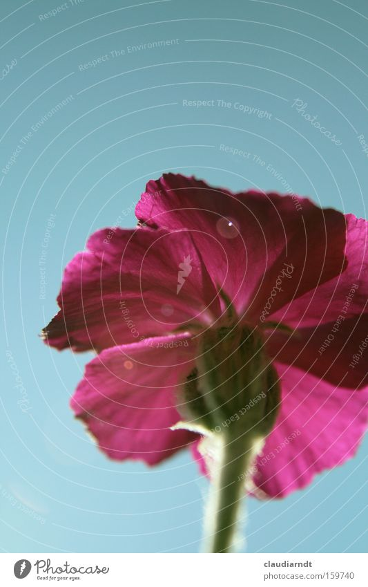 Wer bin ich? Blume Pflanze Sommer Blüte rosa Perspektive Stengel Blühend Lichteffekt
