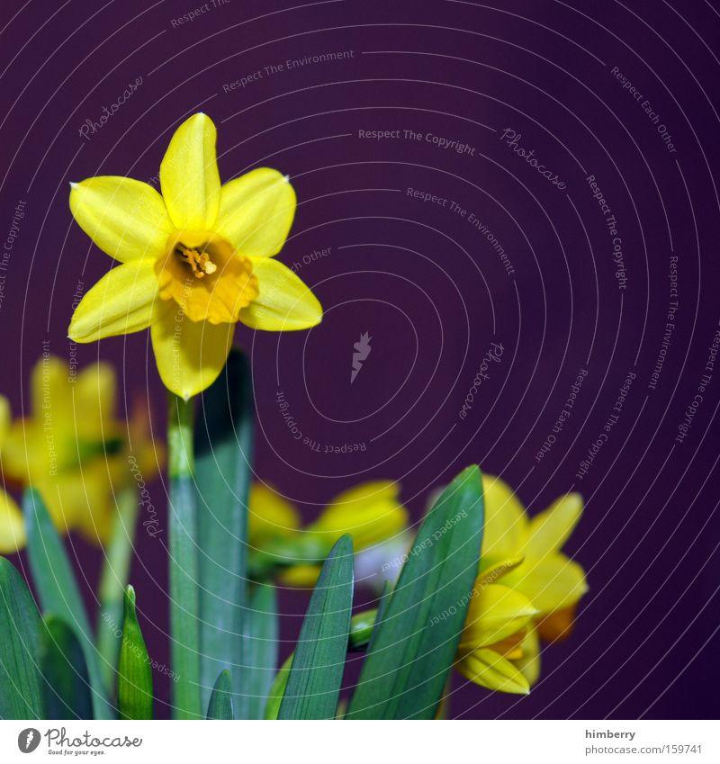 sternkunde Natur Pflanze Blume Blüte Garten Park Jahreszeiten Floristik Gartenbau Glückwünsche Narzissen Gelbe Narzisse