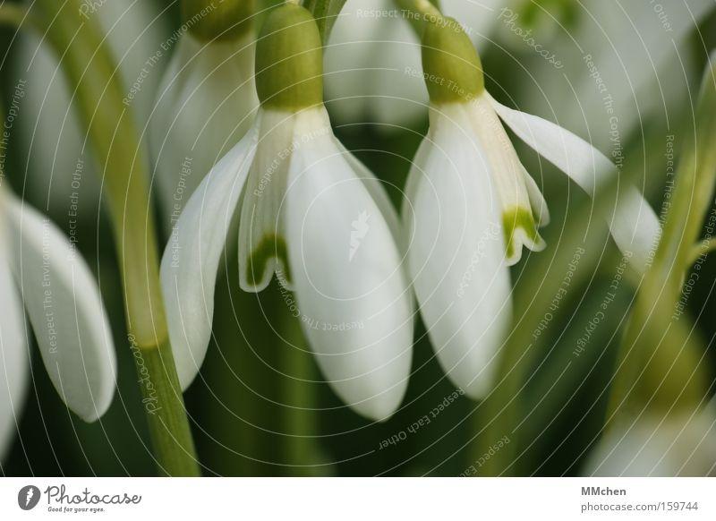 jetzt! sofort! weiß Blume grün Pflanze Blüte Frühling offen Vergänglichkeit Duft Schneeglöckchen Blütenkelch Frühlingsblume