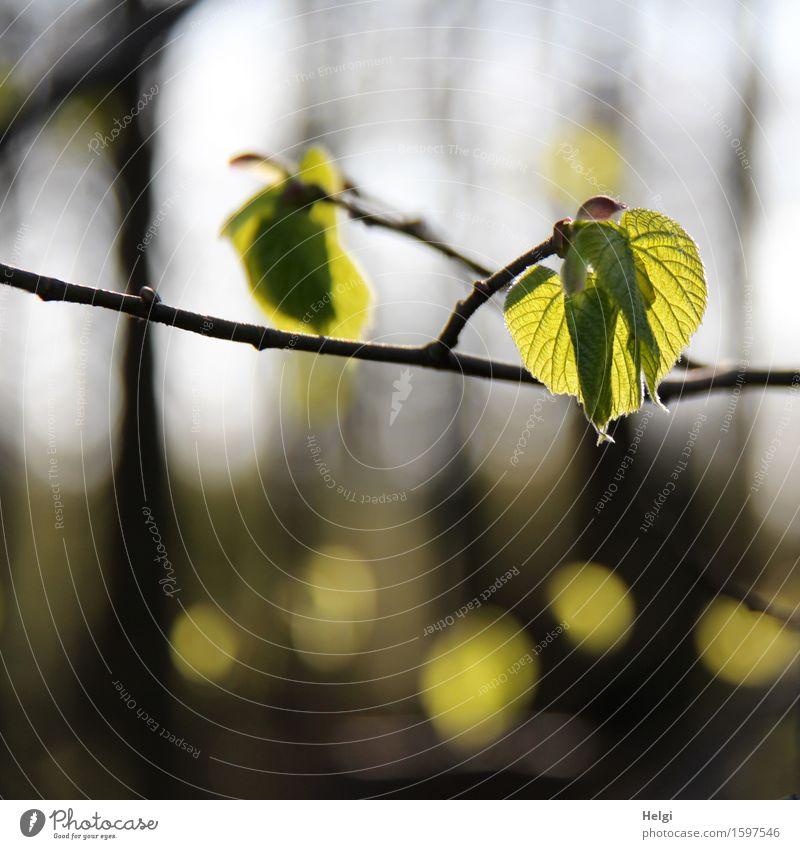 Frühlingsleuchten Natur Pflanze schön grün Baum Blatt Wald Umwelt gelb Leben natürlich klein außergewöhnlich grau Stimmung