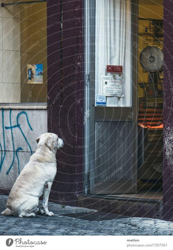 grausam | Beherrschung Hund weiß Tier gelb Straße braun Treppe warten violett Haustier Theke Waage Metzger
