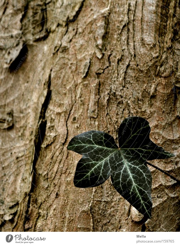 Eins Baum grün Blatt Einsamkeit braun Wachstum Baumstamm einzeln Baumrinde Efeu Single gedeihen