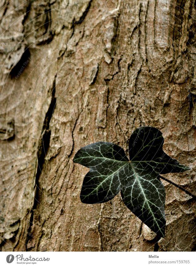 Eins Efeu Blatt Baumrinde Baumstamm grün braun einzeln Einsamkeit Single Wachstum gedeihen
