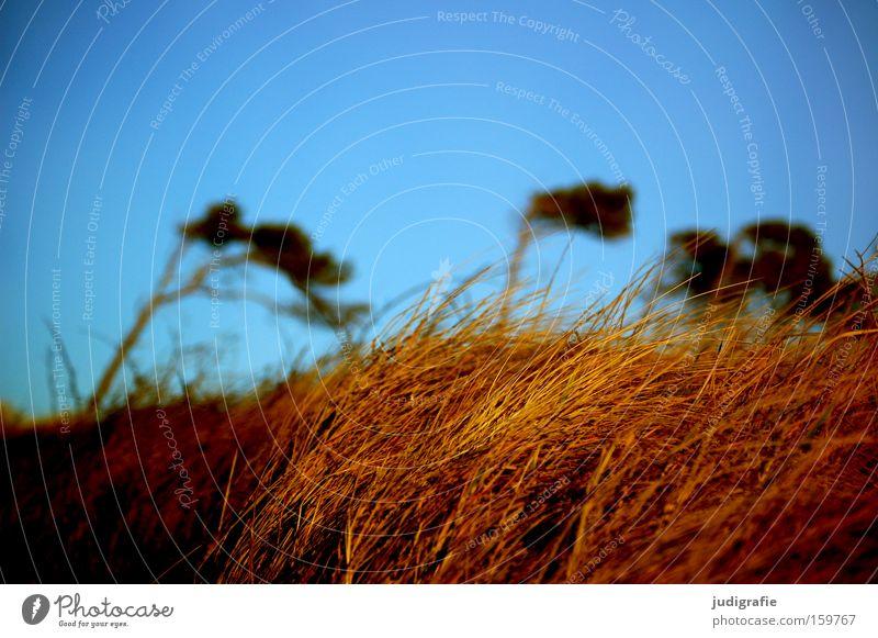 Weststrand Natur Himmel Baum Strand Farbe Gras Küste Wind Umwelt Stranddüne Darß Mecklenburg-Vorpommern Windflüchter