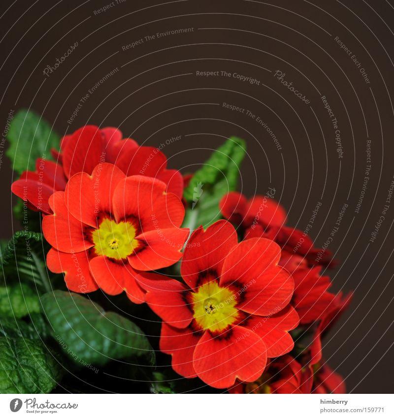 primaprimelcase Natur Pflanze rot Blume Blüte Frühling Park Dekoration & Verzierung Jahreszeiten Gartenbau Glückwünsche Floristik Kissen-Primel