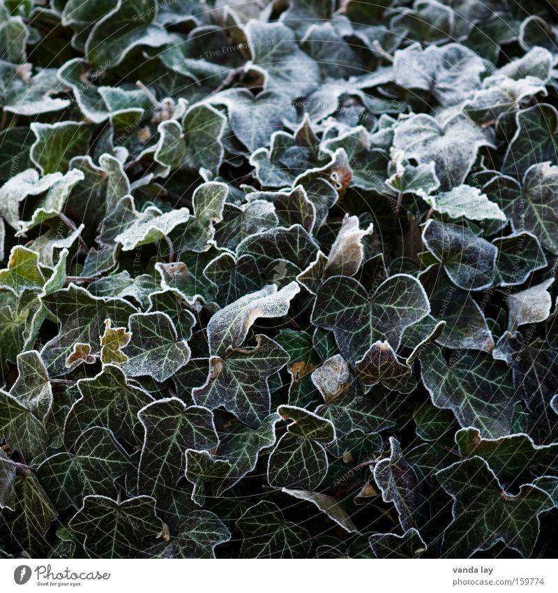 Efeu Pflanze Eis gefroren Raureif Winter Dezember Januar kalt grün Natur Biologische Landwirtschaft Blatt Hintergrundbild Strukturen & Formen umrandet