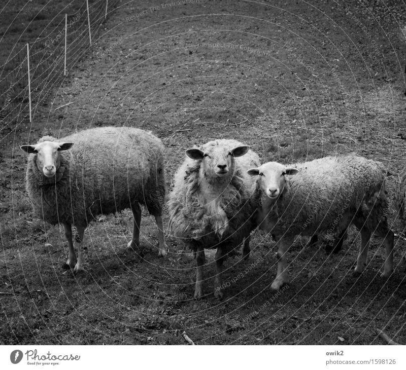Software Umwelt Natur Tier Gras Weide eingezäunt umfrieden Zaun Schaf 3 beobachten Blick stehen Neugier Freundschaft Fürsorge buschig Zusammensein Zusammenhalt