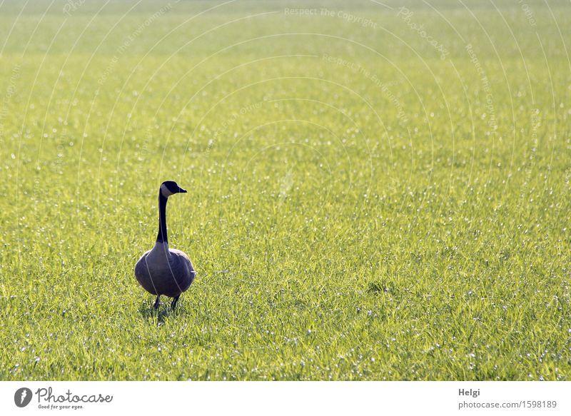 Gegenlichtgans... Natur Pflanze grün Landschaft Einsamkeit ruhig Tier Ferne schwarz Umwelt Leben Frühling Wiese natürlich Gras außergewöhnlich