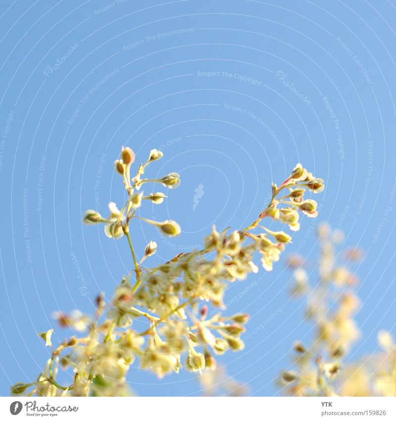 Sonnenfänger harmonisch Sommer Pflanze Himmel Frühling Wind Blüte Bewegung Blühend blau Beginn Botanik unruhig Sonnenlicht weich Blütenknospen Blütenpflanze