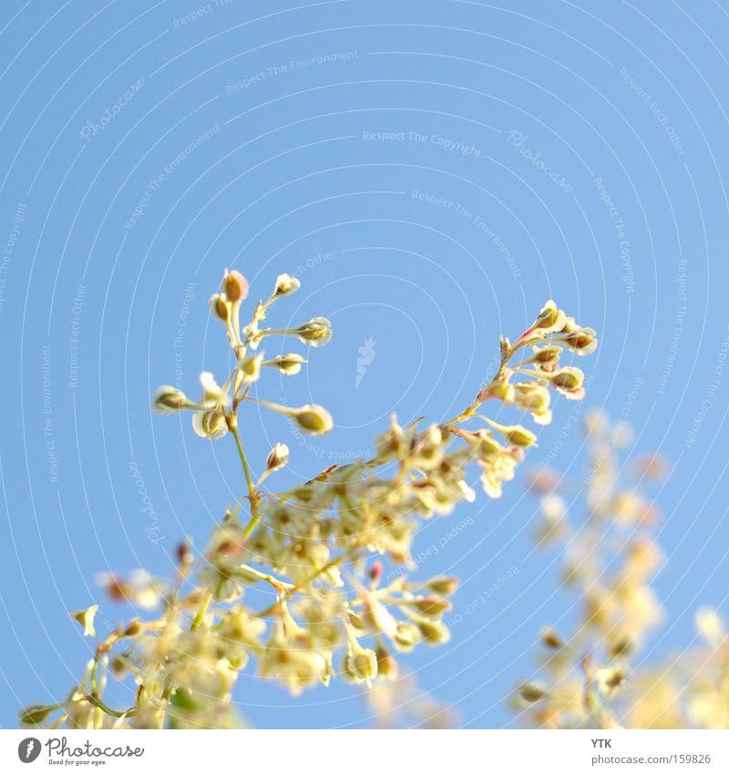 Sonnenfänger Himmel Natur blau Pflanze Sommer Bewegung Blüte Beleuchtung Frühling Wachstum Wind hoch Beginn Blühend weich Blütenknospen