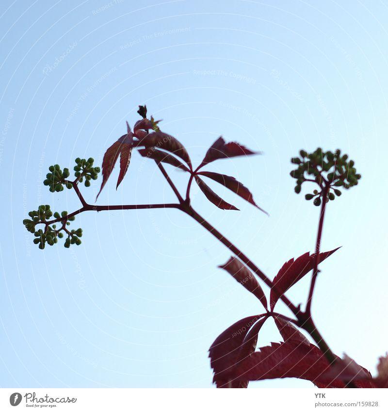 Red Wine Sommer Umwelt Natur Pflanze Himmel Wolkenloser Himmel Herbst Wetter Schönes Wetter Blatt Blüte Nutzpflanze blau rot Botanik Wein Ernte Ackerbau