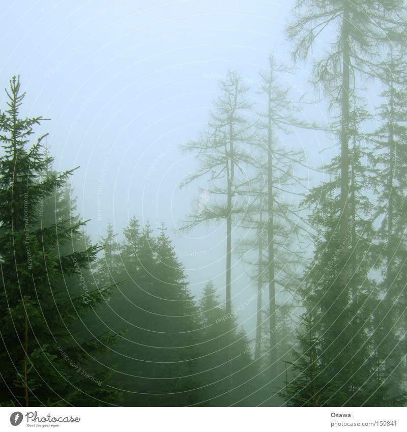 Nebelwald Natur Baum Winter Wald dunkel Ast Tanne Baumstamm Zweig kahl Dunst Fichte Nadelwald