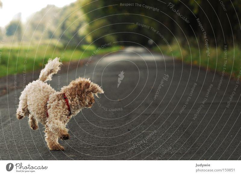 War da nicht noch was ?! Hund Pudel Locken Schaf Sommer Entscheidung Richtung Spaziergang Freude Leben Tier laufen Wege & Pfade Natur ratlos Säugetier Lea