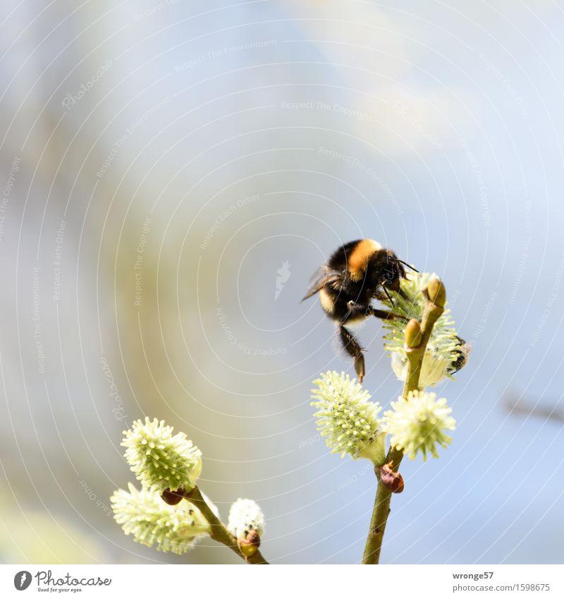 Der Artist Natur Frühling Pflanze Baum Blüte Weide Weidenkätzchen Park Tier Wildtier Insekt Hummel 1 klein blau braun gelb grün orange schwarz weiß
