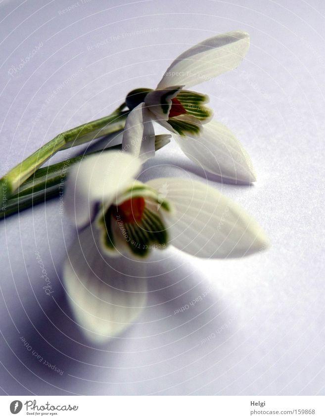 Schneeglöckchen II Natur weiß Blume grün Pflanze Blüte Frühling ästhetisch Vergänglichkeit Stengel Blühend Schneeglöckchen