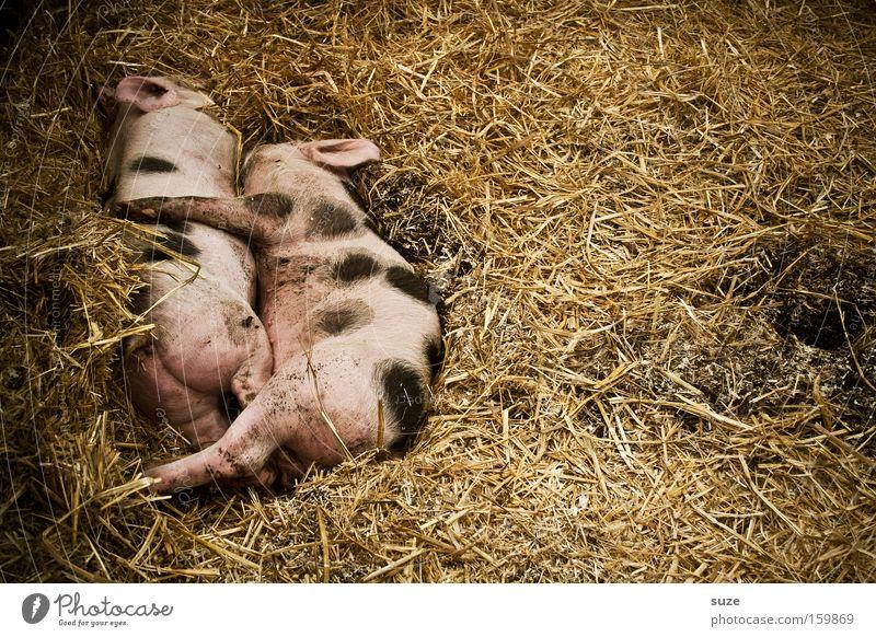Schweinerei Bioprodukte Glück Wohlgefühl Tier Nutztier Ferkel 2 Tierpaar schlafen rosa Tierliebe Borsten gefleckt Stroh Stall tierisch Kuscheln Saustall