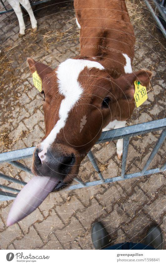 Bööööh - Kalb streckt Zunge raus Milch Landwirtschaft Forstwirtschaft Nase Haustier Nutztier Kuh Rind schön braun Vieh Viehzucht Rinderhaltung Kuhstall Milchkuh