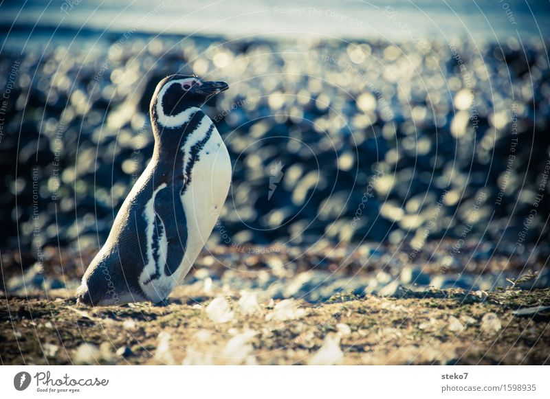 Strandbutler Küste Tier Pinguin 1 beobachten stehen warten elegant kalt Neugier Patagonien Textfreiraum rechts Tierporträt