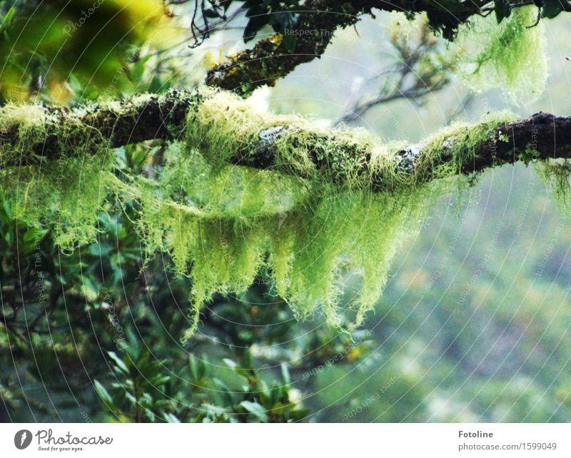 Urwald Umwelt Natur Pflanze Baum Moos Wald hell natürlich grün schwarz Teneriffa Märchenwald geheimnisvoll ursprünglich Farbfoto mehrfarbig Außenaufnahme