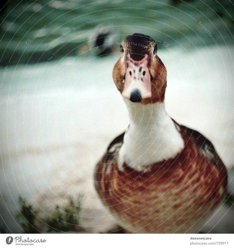 Noch auf der Suche. Tier Teich Nutztier Wildtier Vogel 1 braun weiß analog Ente Gans Farbfoto Außenaufnahme Textfreiraum links Tag Schwache Tiefenschärfe
