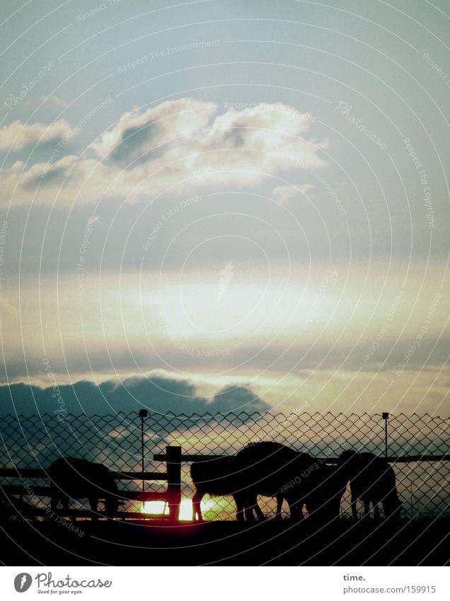Dem Osten sein Westen Himmel Wolken Horizont Weide Zaun Schaf Fressen