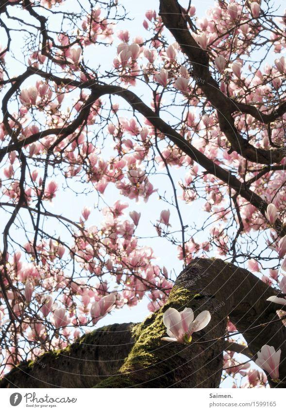 Magnolienblüte Magnolienbaum Magnolienblpte blühen Blütenblätter Blätter Natur umwelt schön Detailaufnahme pflanze leben wachsen Moos Baumstamm äste