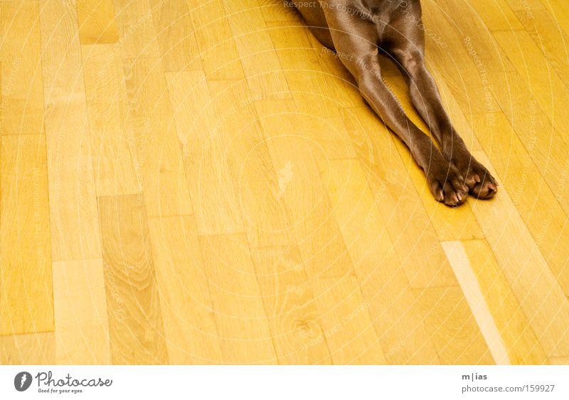 anpassungsfähig. Hund Pfote Weimaraner Parkett Holz braun gelb Streifen parallel Haustier anonym Fell Bodenbelag Wärme Detailaufnahme Säugetier tia