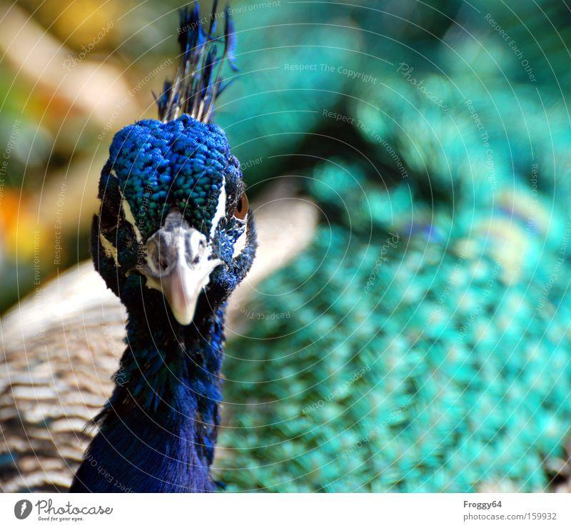 Pfau Vogel blau Feder Flügel Hals Kopf zart weich Schnabel Auge Indien schön
