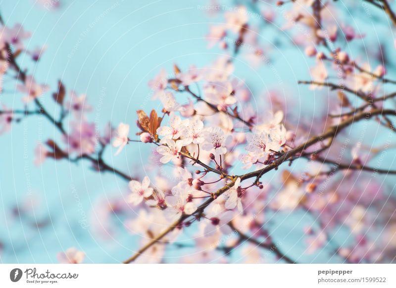 Kirschblüte Himmel Natur Pflanze blau Blüte Frühling Garten rosa Park Blühend Wildpflanze Kirschblüten