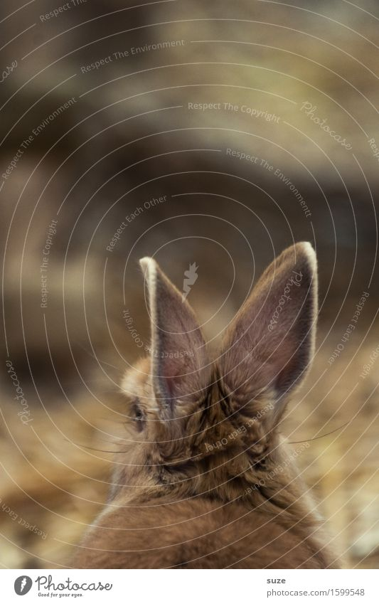 Alter Hase Tier ruhig braun niedlich weich Ostern zart Ohr Fell hören tierisch Hase & Kaninchen laut Klang Geräusch