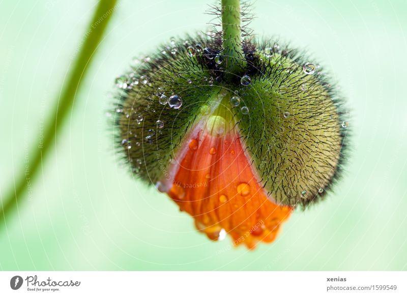 Islandmohn komm raus Pflanze grün Sommer Wasser Blume schwarz gelb Blüte Frühling Garten Regen orange Park Behaarung Wachstum Wassertropfen