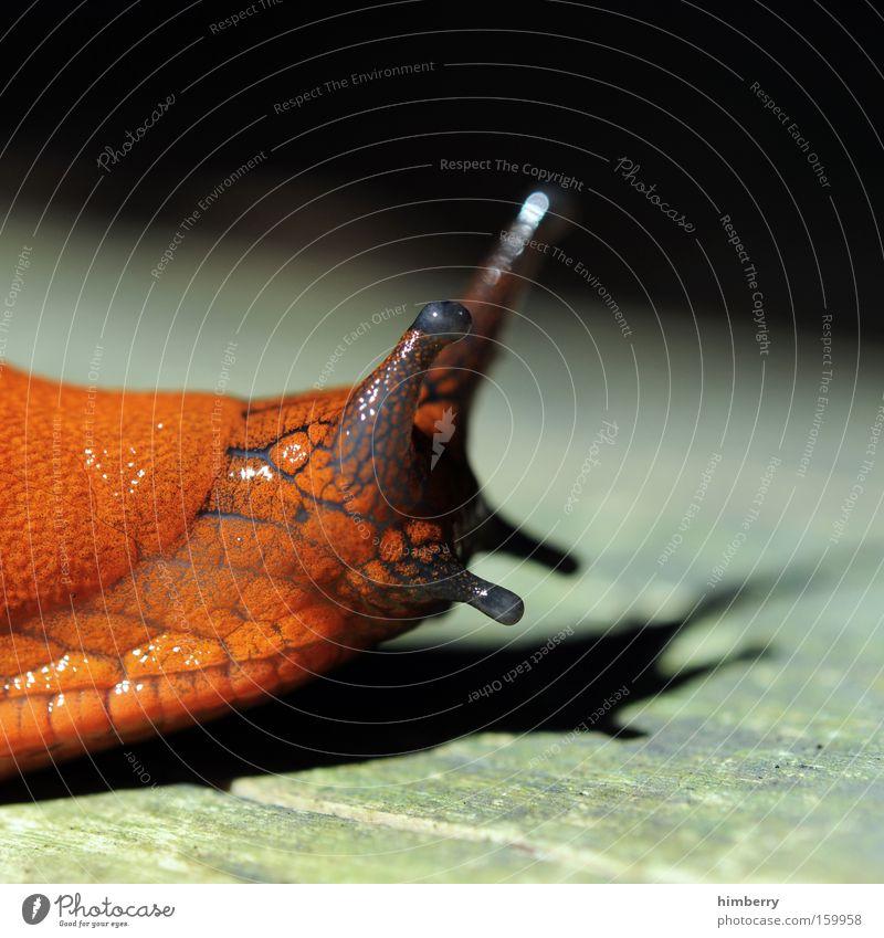 schleimer Schnecke Tier Schleim Schleimer Fühler Natur Weichtier Makroaufnahme Nahaufnahme rothaut