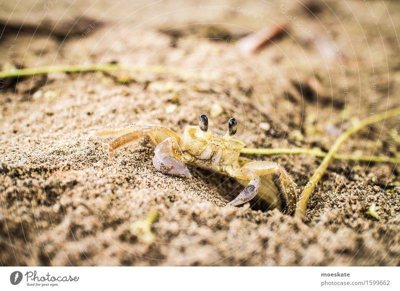 Krabbe am Strand Tier 1 braun Costa Rica Farbfoto Gedeckte Farben Außenaufnahme Nahaufnahme Detailaufnahme Makroaufnahme Tag Schwache Tiefenschärfe Tierporträt