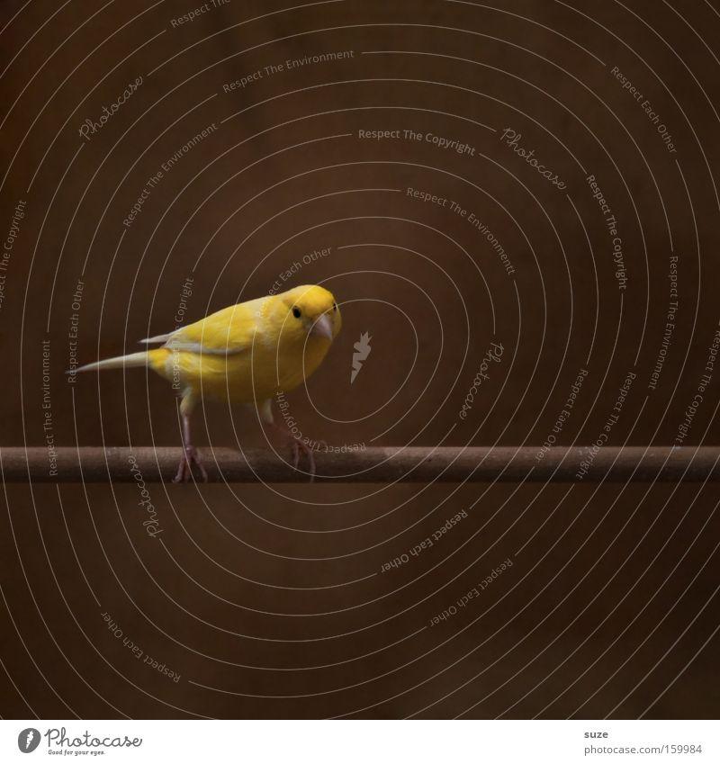 Knabberstange Haustier Vogel 1 Tier sitzen warten authentisch frech schön klein lustig Neugier niedlich braun gelb Interesse Einsamkeit Konzentration Käfig Stab