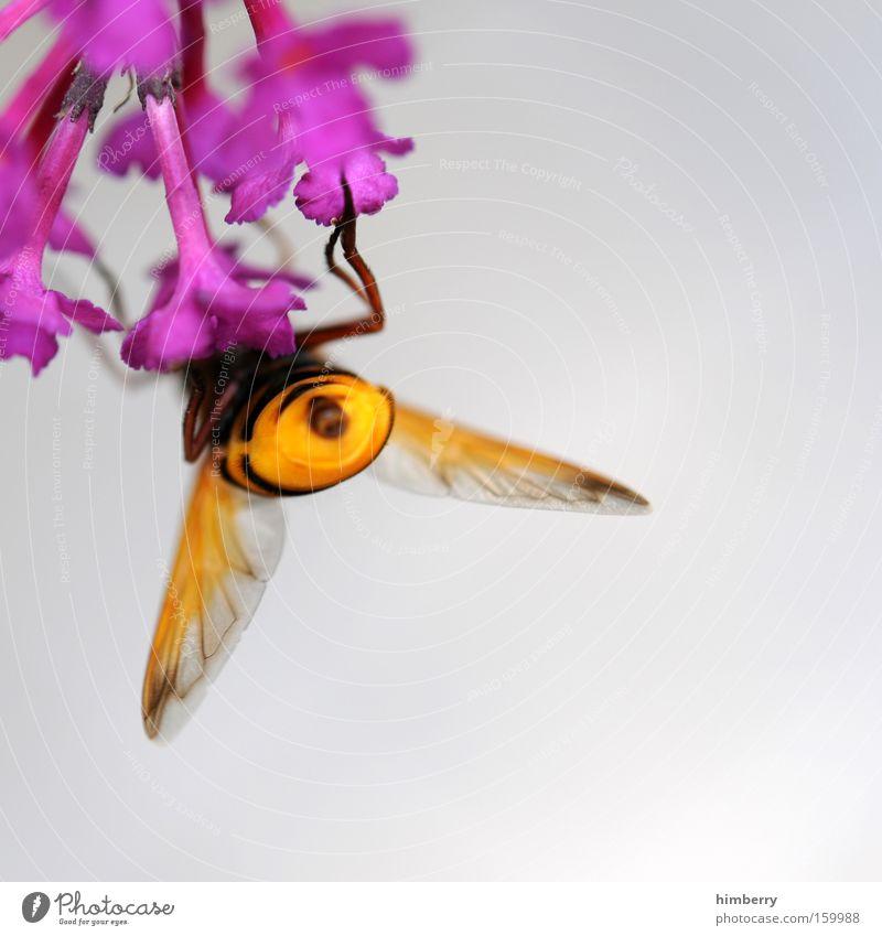 popomaja schön Blume Pflanze Ernährung Tier Blüte Frühling Lebensmittel Insekt Biene Jahreszeiten Honig Nektar bestäuben Maja