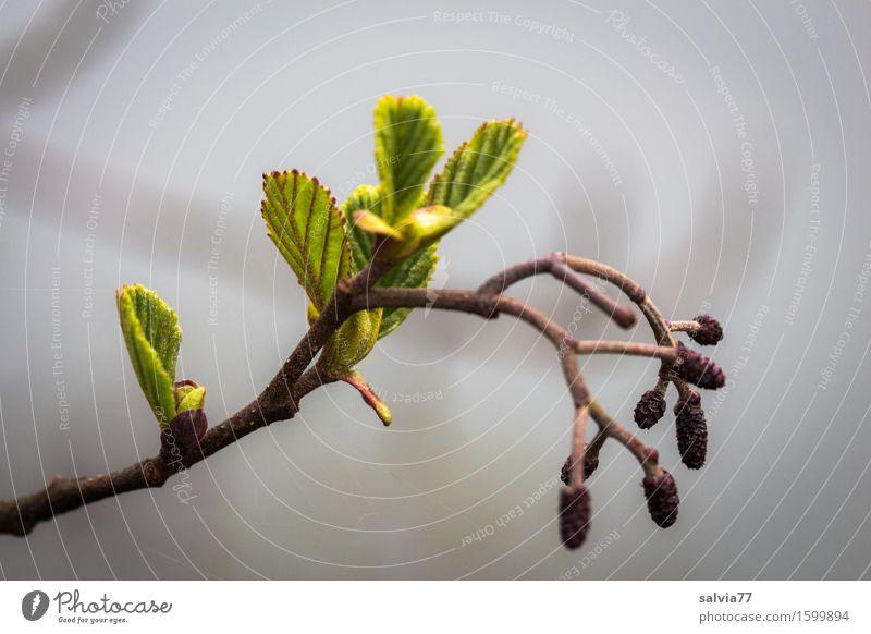Erlentriebe Umwelt Natur Pflanze Frühling Sträucher Blatt Trieb Zweige u. Äste Baumschössling Wald Wachstum frisch kalt grau grün Beginn Wandel & Veränderung