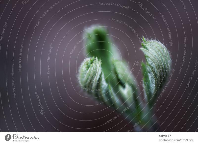 sanfte Kralle Natur Pflanze Frühling Blatt Blattknospe Blütenknospen Wald ästhetisch neu weich grau grün Leben Hoffnung Glaube Beginn einzigartig Wachstum