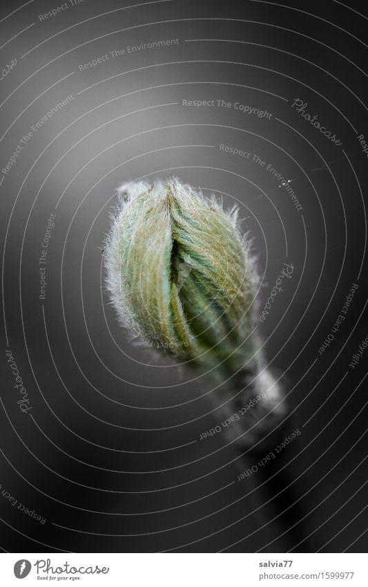 Lebenskraft Natur Pflanze Frühling Baum Sträucher Blatt Blattknospe Wald Wachstum grau grün schwarz ästhetisch einzigartig Hoffnung Kraft Perspektive