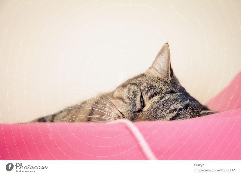 Katze schlafend Tier Haustier 1 genießen rosa Geborgenheit träumen Halbschlaf ruhig Tigerfellmuster Innenaufnahme Textfreiraum oben Licht Tierporträt