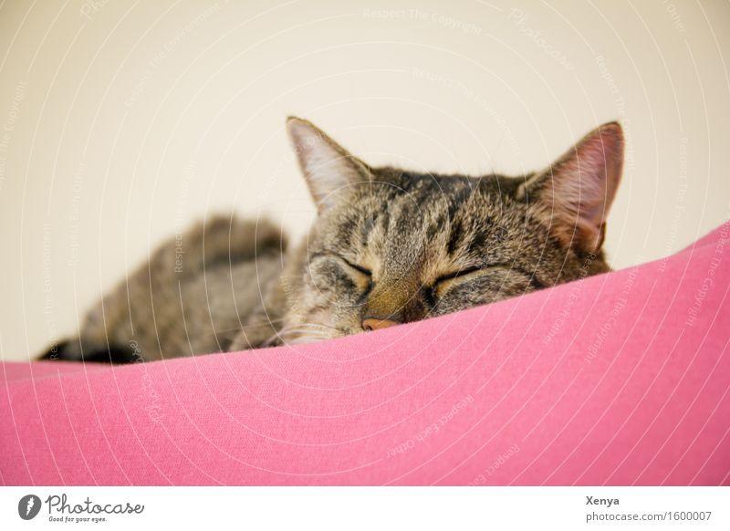 Katze schlafend Tier Haustier 1 genießen rosa Geborgenheit ruhig Halbschlaf Tigerfellmuster Innenaufnahme Textfreiraum oben Textfreiraum unten Tag Tierporträt