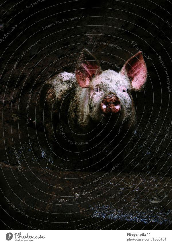 schweinisch Einsamkeit Tier dunkel kalt Traurigkeit rosa Angst dreckig beobachten Neugier Hoffnung Vertrauen Ohr Wachsamkeit Tiergesicht Ekel