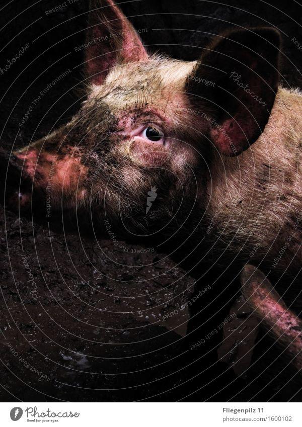 traurige Augen Kopf Ohr Tier Nutztier Tiergesicht 1 Blick Traurigkeit dreckig dunkel Ekel kalt Neugier rosa Tierliebe Mitgefühl Wachsamkeit Hoffnung Langeweile