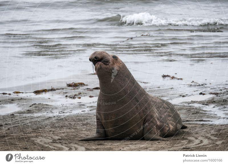 Seelöwe am Strand schön harmonisch Zufriedenheit Sinnesorgane Erholung ruhig Tourismus Sommer Meer Umwelt Natur Landschaft Sand Klima Klimawandel Wetter Wellen